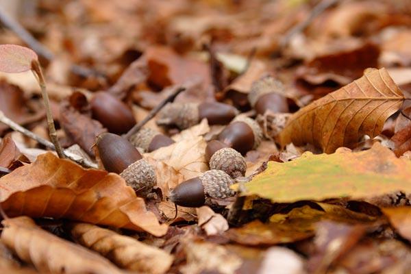 Acorn (water oak)