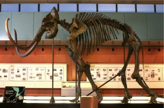 Restored skeleton of a mammoth