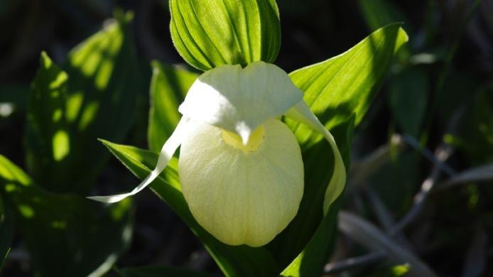 Rebun Atsumoriso (Large-flowered Cypripedium)