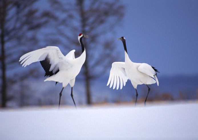Red-crested crane