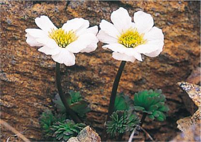 Hidakaso (Callianthemum miyabeanum)