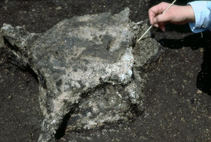 Ofune Site: Excavated whale vertebra