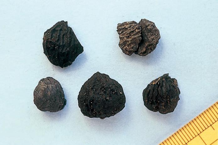 Ofune Site: Excavated chestnuts