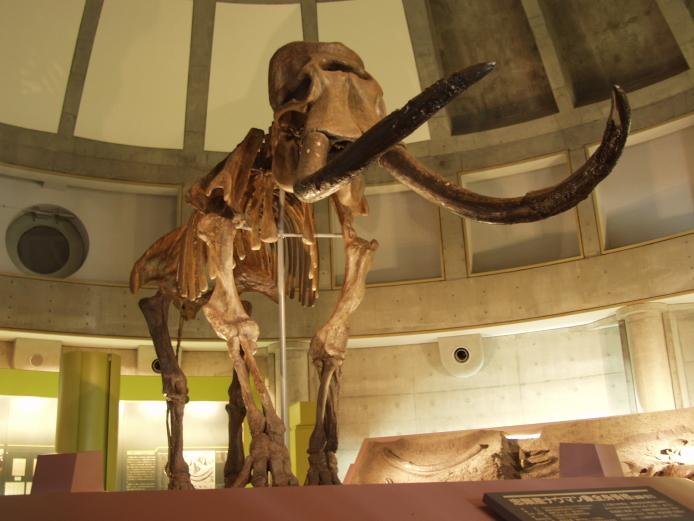 ナウマンゾウの復元骨格模型